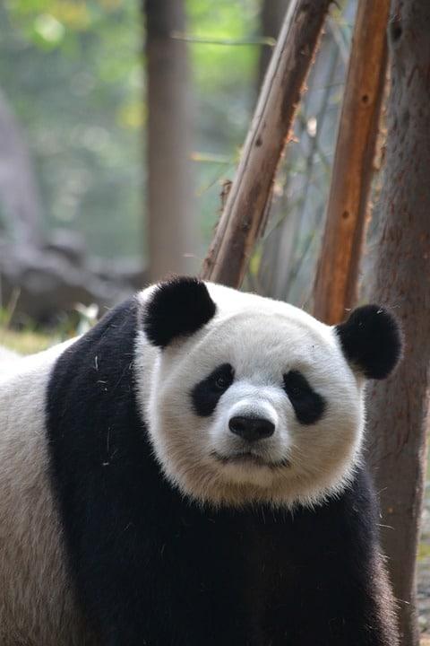 Chendu - home of pandas